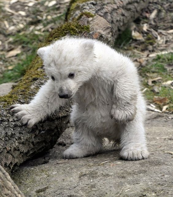 Cute little guy #polarbear #cute #wildlife<br>http://pic.twitter.com/R7O5T35o9W