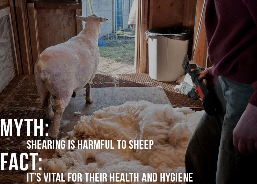 #shearing sheep keeps them healthy &amp; is done carefully by professional shearers! Learn more at:  http://www. sheep101.info/shearing.html  &nbsp;   #CAO17 #AgProud<br>http://pic.twitter.com/9EWFO7HOui