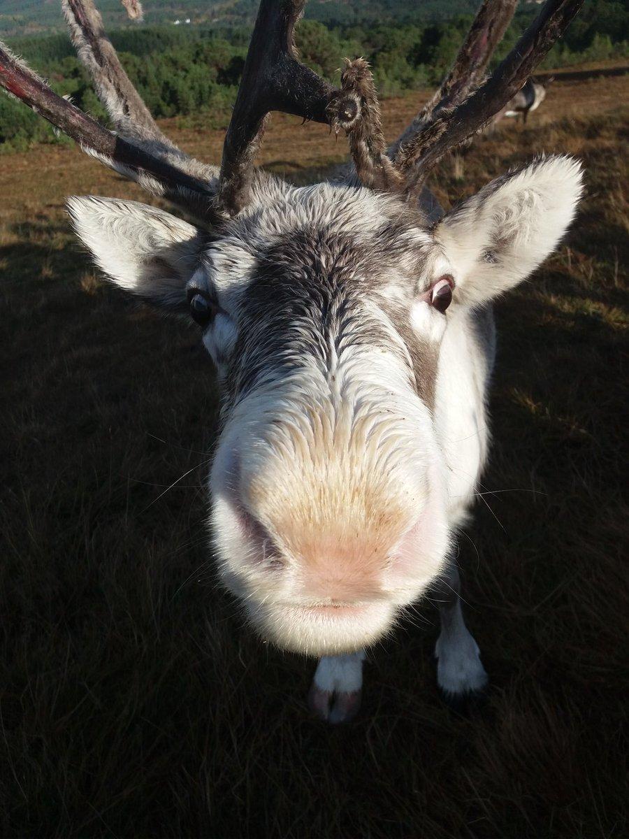 cairngorm reindeer reindeerherd twitter
