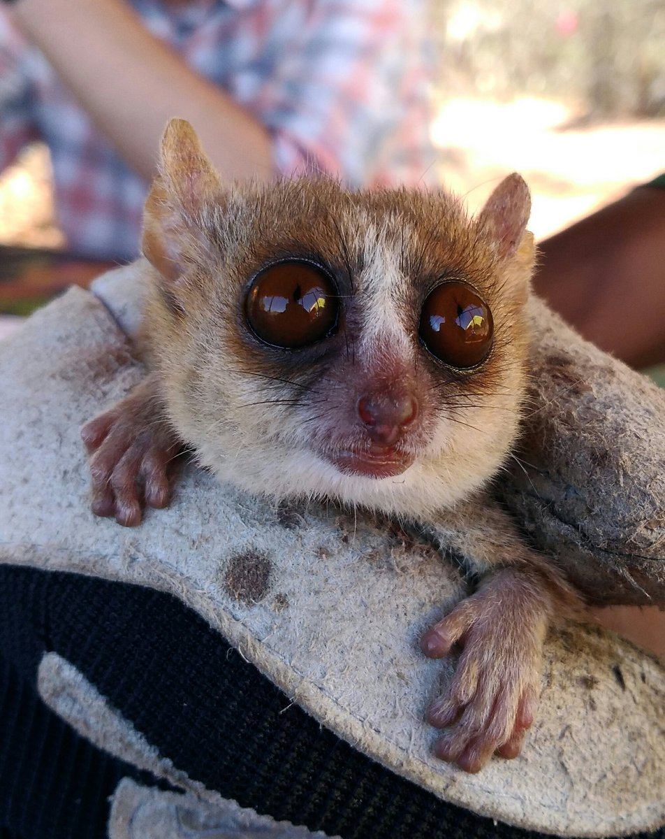 This is F200-17, the 200th mouse lemur caught during my PhD #fieldwork in #Madagascar.  I also think she&#39;s by far the cutest. <br>http://pic.twitter.com/diWeVPICfD
