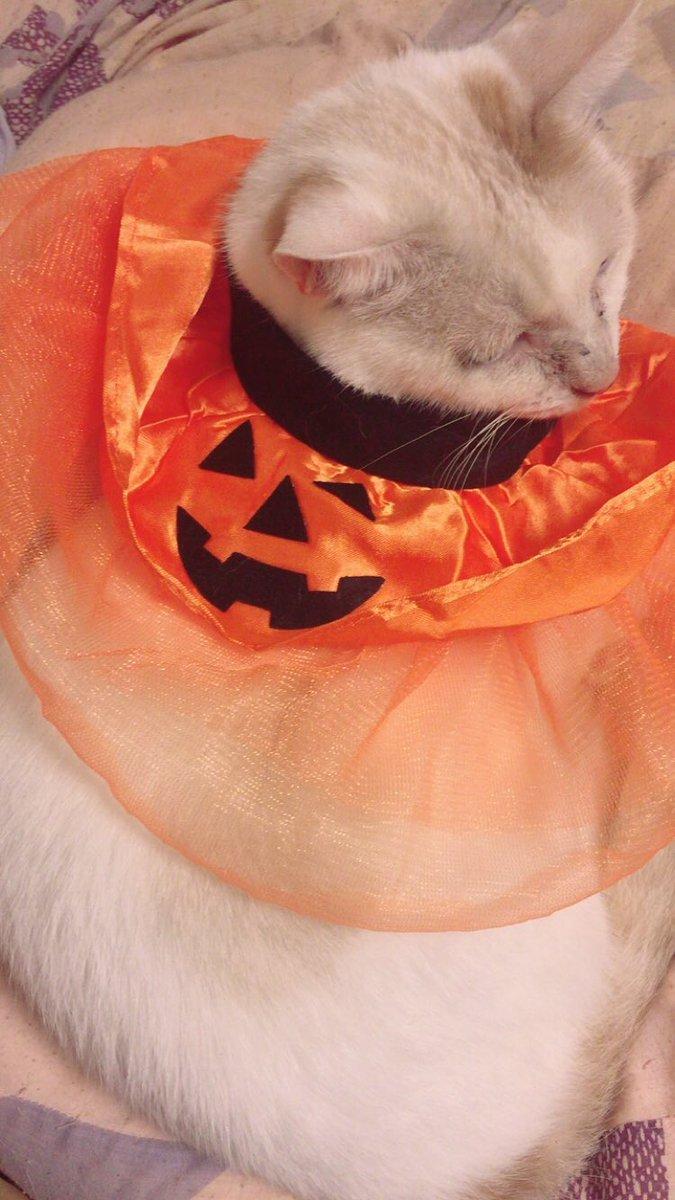 test ツイッターメディア - 猫に買ってきたんだよ。犬用だけどな笑 可愛いでしょ?  #嫌がってるだろ #ダイソー #猫写真 https://t.co/AtZv5hBpfW