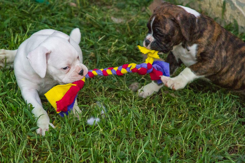 Play nice, share your TOYS - by order of the management... #dogsoftwitter #Boxer #puppies<br>http://pic.twitter.com/IinKjTd1Gq