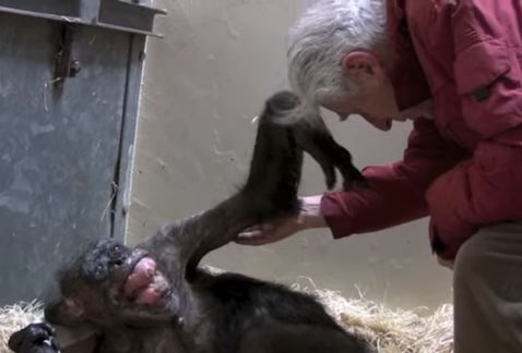 ▶️ VIDEO: Una #chimpancé a punto de mori...