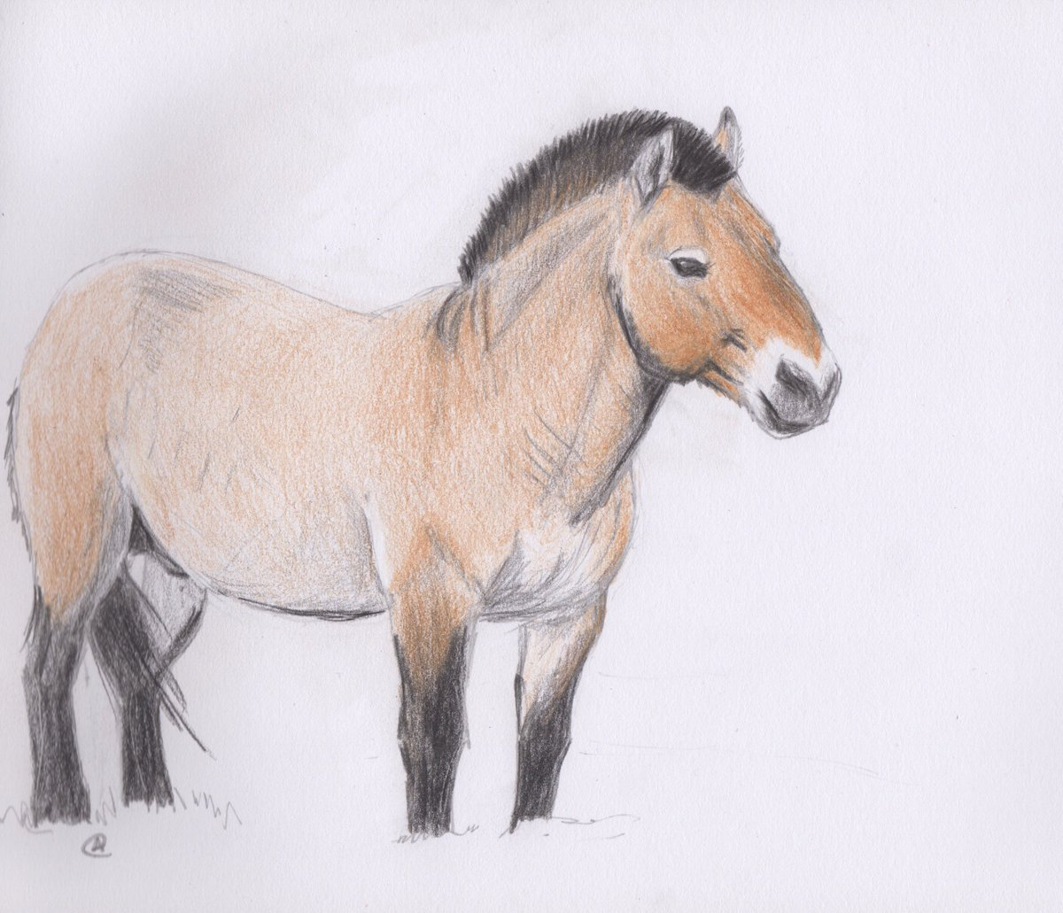 It&#39;s been a while since I&#39;ve done a physical #drawing! A Przewalski&#39;s horse, drawn with #polychromos #pencils <br>http://pic.twitter.com/onq9885AyP