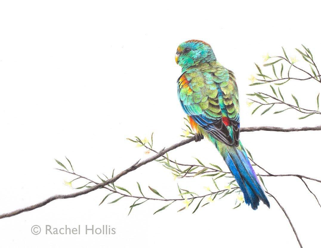 Mulga Parrot - not so well-known but one of Australia&#39;s most stunning parrots #mulgaparrot #australia #birdart #drawing <br>http://pic.twitter.com/AgEjHZN68x