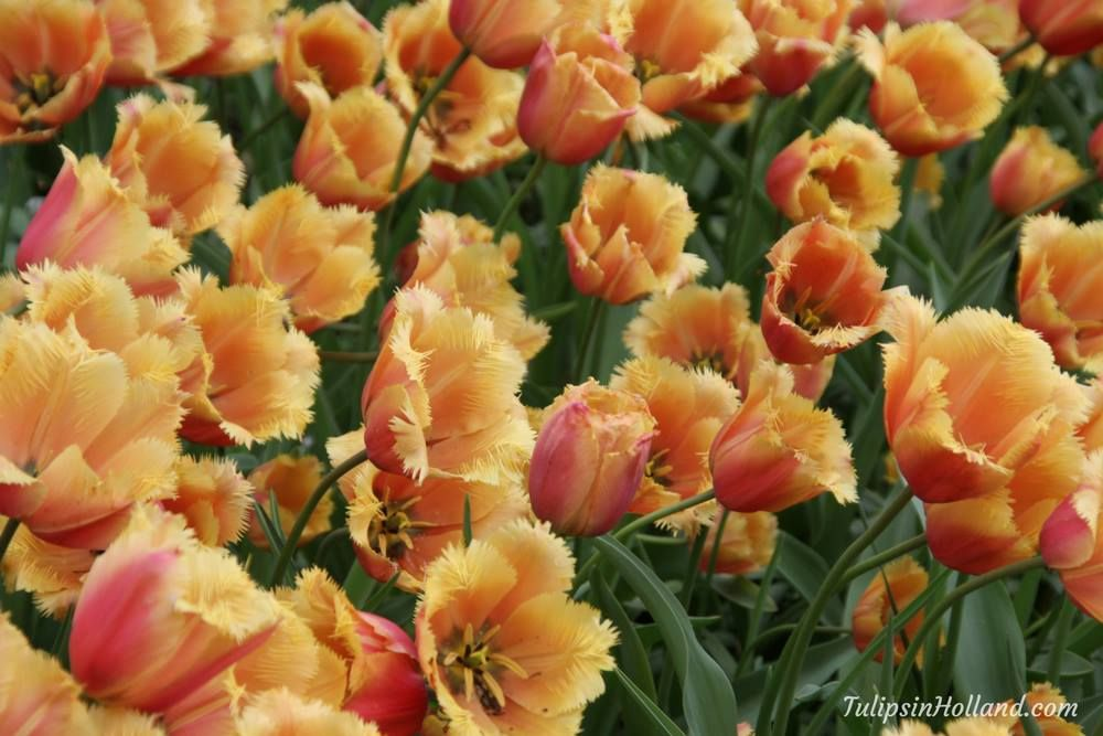 Wishing you a beautiful day today!   #travel to the #tulipsinholland spring 2018  http:// bit.ly/2mO7pqd  &nbsp;  <br>http://pic.twitter.com/fKHsPvbK77