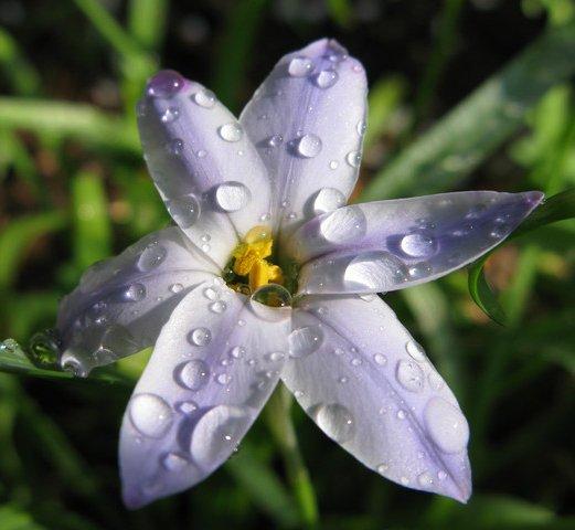 【イフェイオン】  星形の花が1輪ずつ咲き誇る花。  南米では、寝るときにイフェ...
