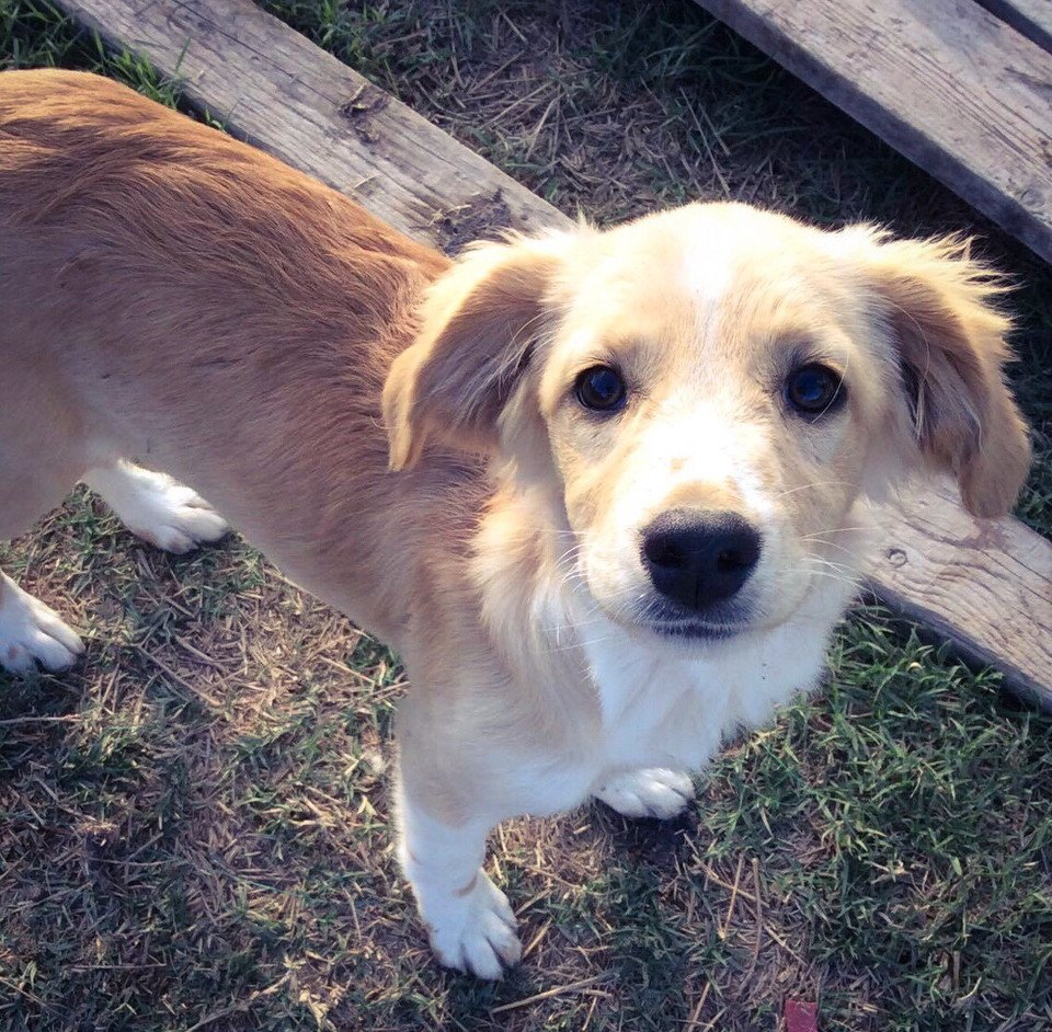 """Sweet-natured,lovely Katy was dumped at our field-despite her innocent loyalty. She asks: """"Could you love me?"""" ADOPT #UK #Germamy #Holland <br>http://pic.twitter.com/rnCdL1z7MA"""