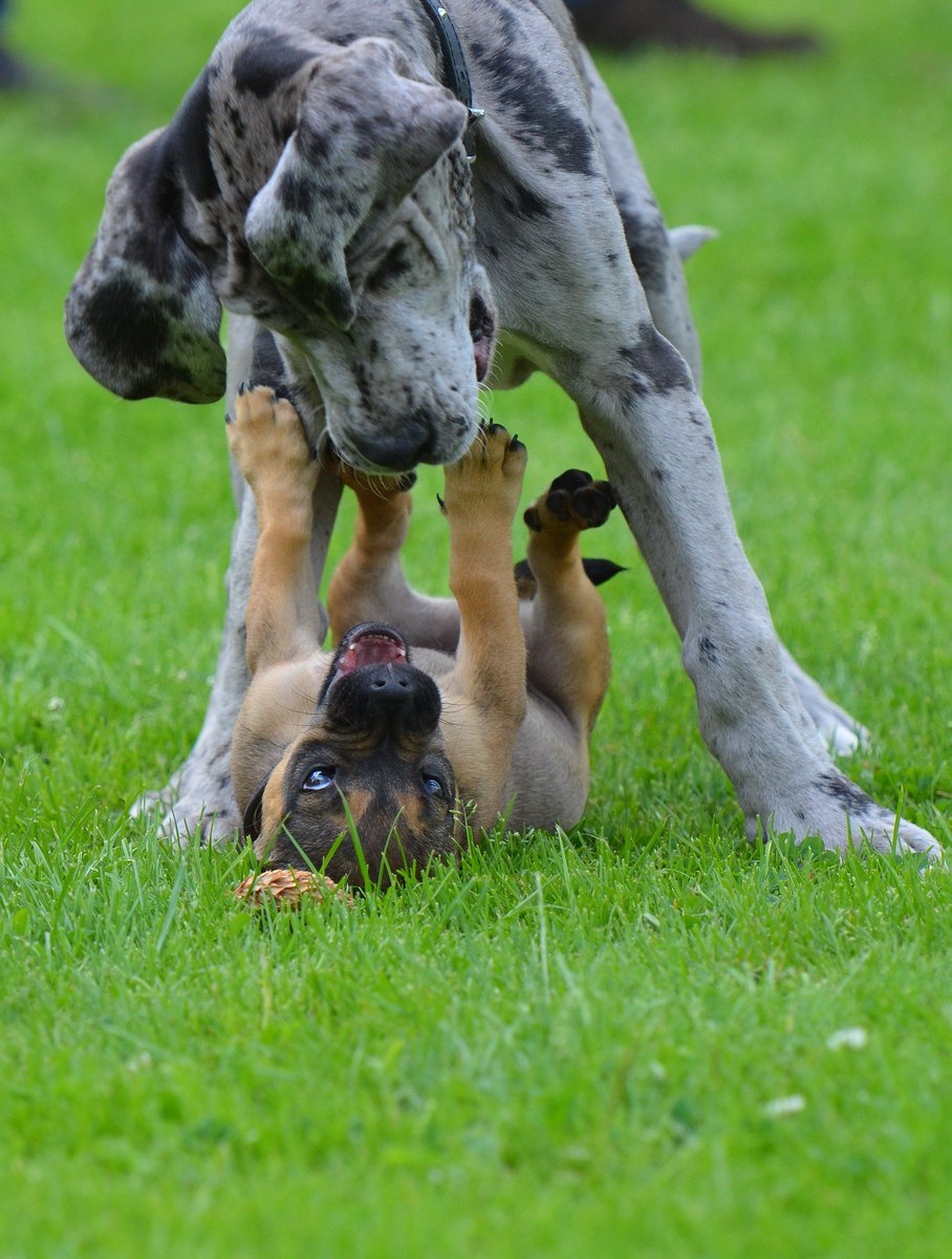 You look for a great heart? Then look for a Great Dane!  #dog #friends <br>http://pic.twitter.com/HQ3buQJoCQ