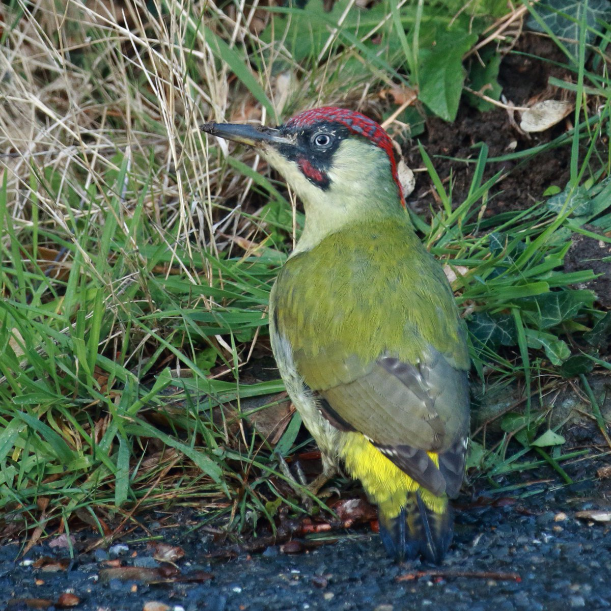 Spotted this #green #woodpecker rummaging in the undergrowth @BBCSpringwatch @Natures_Voice @RSPBbirders @WildlifeMag @SussexWildlife<br>http://pic.twitter.com/TRSM50naua