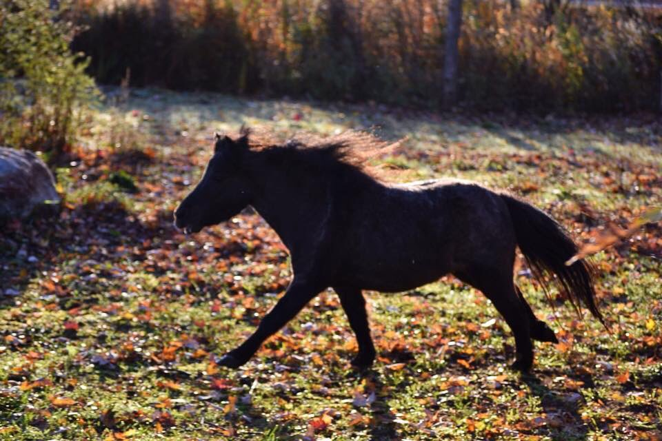 Just a beautiful fall morning, Scott creek Monarch Caracara.  #ponyhour #mini #miniature #stallion #fall #horse #goodmorning #amha #amhr<br>http://pic.twitter.com/wFW2bOpc6L