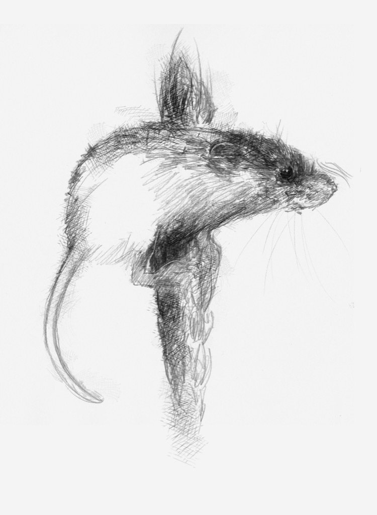 Harvest mouse  More mouse sketches this time harvest #sketch no.1382 © #art, #drawing, #mouse,  http:// etsy.me/1rARc0J  &nbsp;  <br>http://pic.twitter.com/6wMeQ1Ut8m