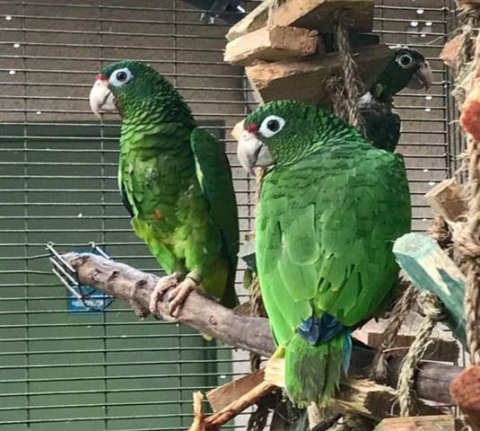In Puerto Rico, a Hopeful Sight: Endangered Parrot Spotted After Hurricane Maria https://t.co/O5jPHZj47w