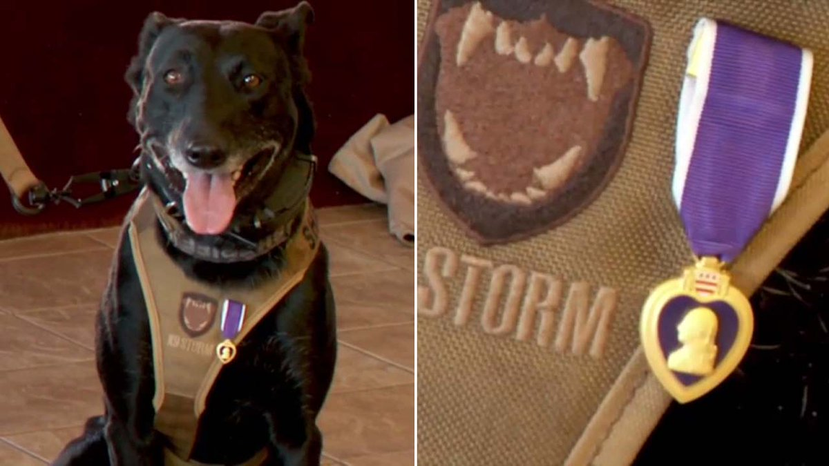 Veteran group awards Purple Heart to K-9 officer Tess, who was injured in shootout in the line of duty https://t.co/b0sw3AIRw8