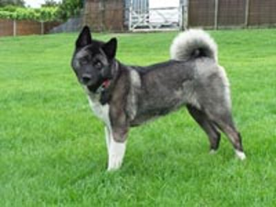 #WestYorkshire Keiko is a female Japanese Akita that is approx 2 to 3 years old with the most beatiful ...  http:// rescuedogs.org.uk/dog-rescues/yo rkshire-humberside/whitehall-dog-rescue/keiko-wakefield &nbsp; … <br>http://pic.twitter.com/5LoLcvz0F1