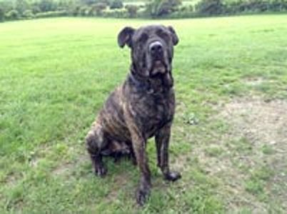 #WestYorkshire This is Reggie.   He is a Spanish Mastiff that was born approx early 2011.  He is about the size  ...  http:// rescuedogs.org.uk/dog-rescues/yo rkshire-humberside/whitehall-dog-rescue/reggie-wakefield &nbsp; … <br>http://pic.twitter.com/FsyUpFp02k
