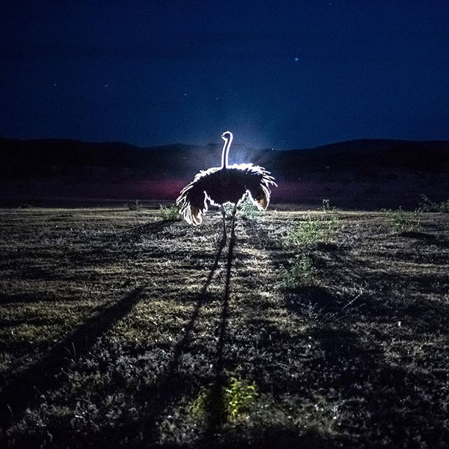 This is my final form: ostrich of light.  'Ostrich illuminated by headlights of ranch vehicle' (Daniel Berehulak) https://t.co/jTvFKscPlR