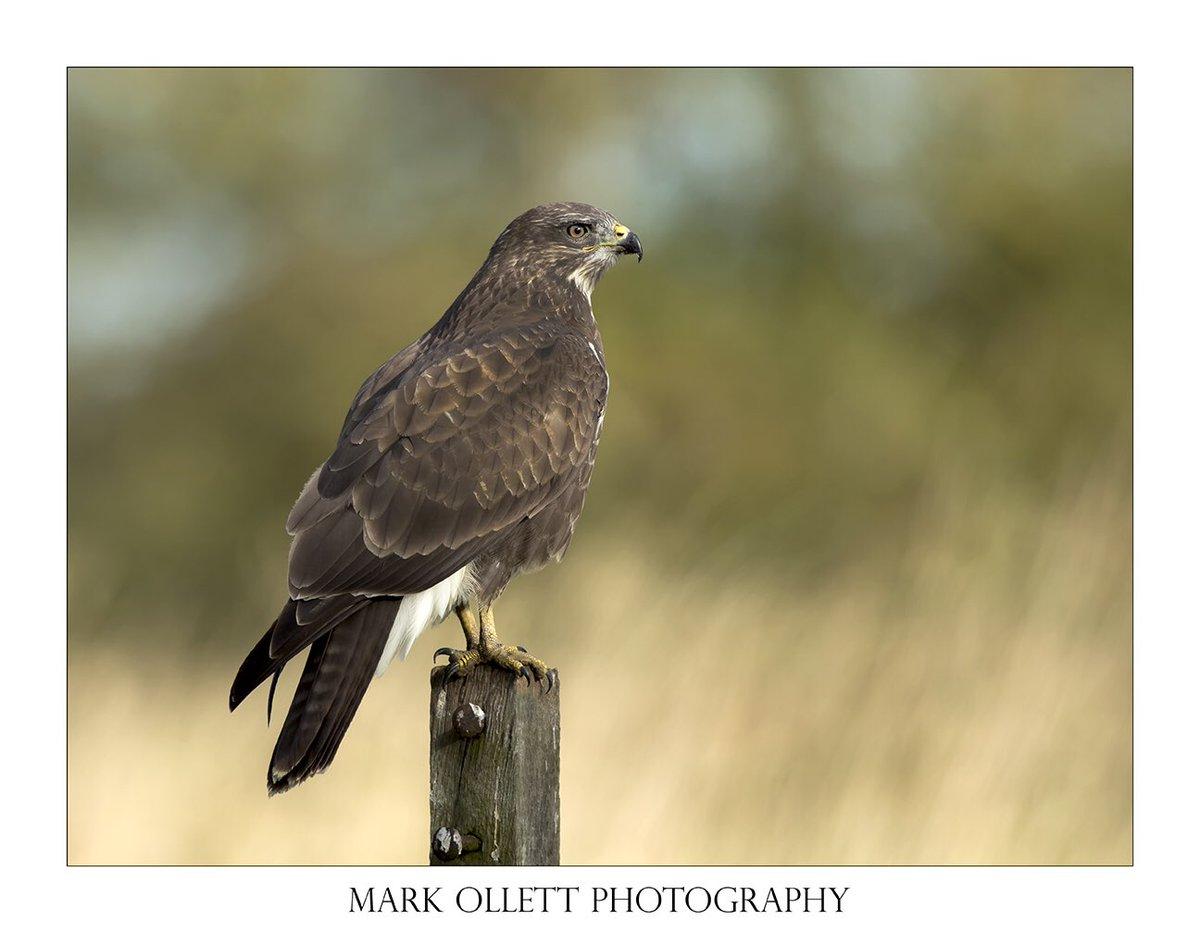 Sometimes things just go right. My fav buzzard pic so far. #buzzard #bird #birdofprey #wildlife #norfolk #springwatch  #bbcearth #nikon #canon #eastanglia #myfavorite #happy #post #pose #hunter #light #lookeast #d5 #norwich #nwt #NationalTrust #thewildlifetrusts #yarevally<br>http://pic.twitter.com/MSbneLuDSZ