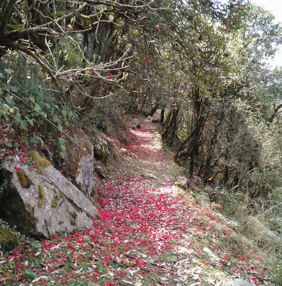 Up for a walk? #rhododendrons #landour #himalaya <br>http://pic.twitter.com/L8chqtkKoq