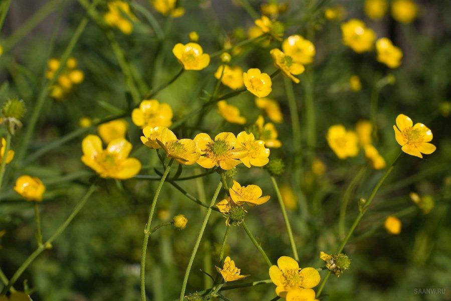 Ядовитые полевые растения фото и названия