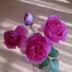 久しぶりに薔薇の写真をどうぞ。マリー・アントワネットという名前です。一本の茎にたくさんの花が咲く「ス…