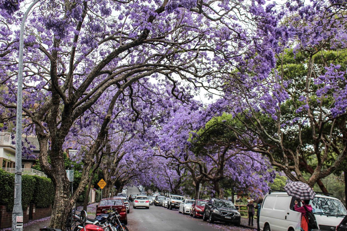 Kirribillimarkets On Twitter The Picturesque Jacaranda Blooming Streets Of Kirribilli 5 Minutes Walk From The Arts Design Fashion Markets Next Sunday The 12th Https T Co Gbfzszwyst