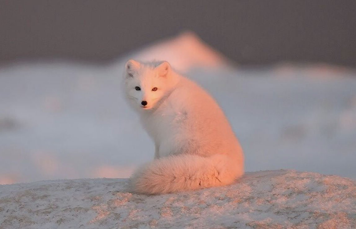 An Arctic fox goes pink thanks to colours of November sunset over the Gulf of Ob. All pictures by Alexander Yakovlev