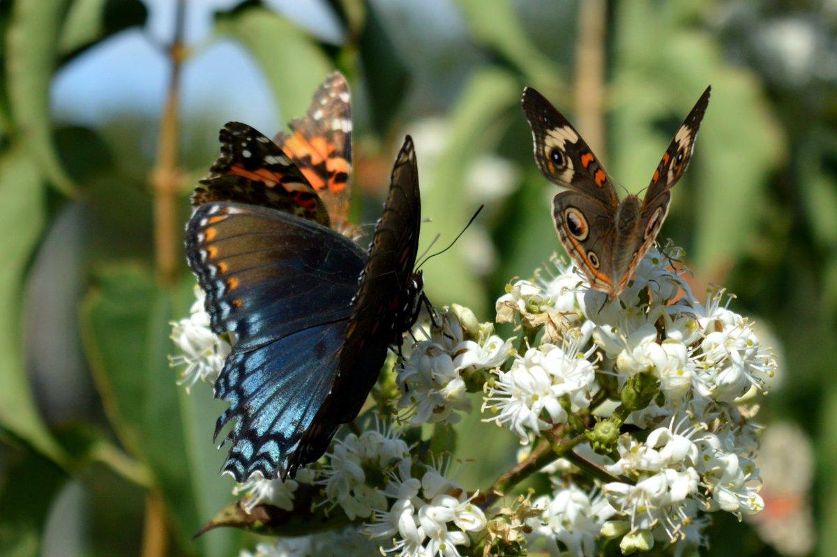 butterflies hashtag on twitter
