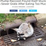 【膨らみすぎ】食べ過ぎて下水溝にはまったアライグマを救出 米news.livedoor.com/ar…