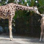 多摩動物公園でキリン誕生!東京ズーネットお知らせ☞tokyo-zoo.net/topic/topic…