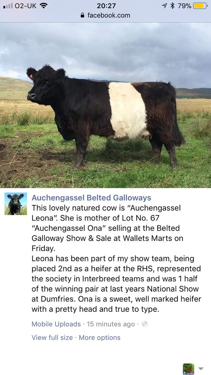 #sale this Friday. Auchengassel Ona, daughter of this lovely natured cow is Lot No. 67 #beltedgalloway