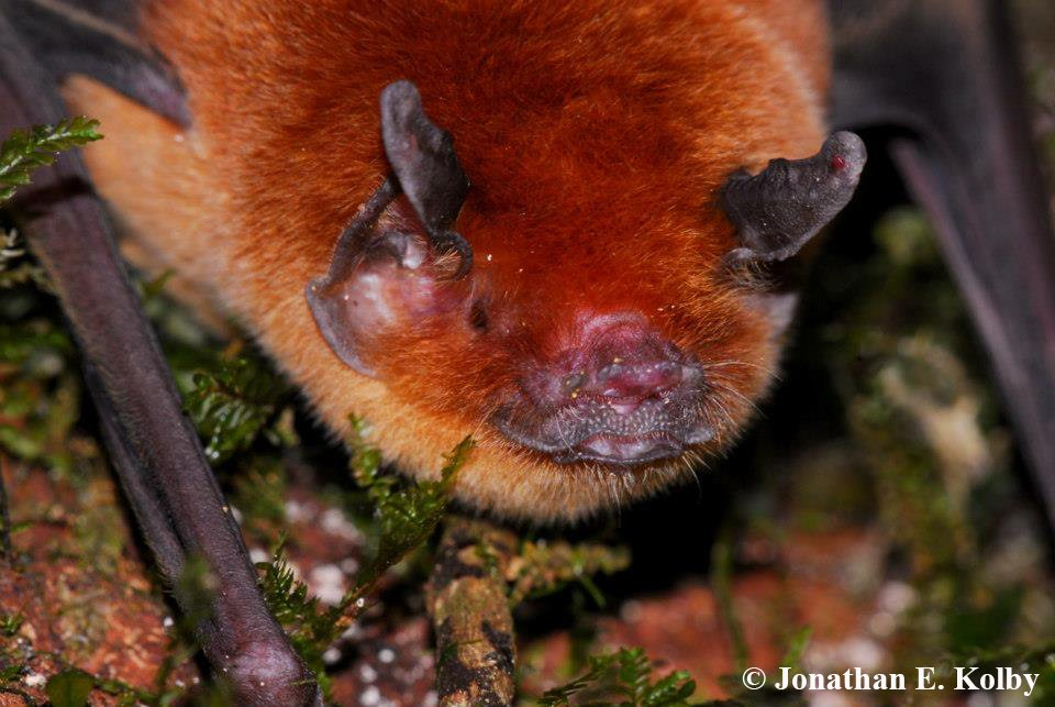 Here&#39;s another #Batweek cutie from the #HARCC field site! This is a mormoopid #bat, also known as a mustached bat<br>http://pic.twitter.com/earBtNzh2B