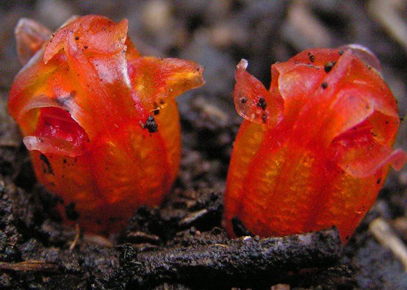 昨日に引き続き腐生植物について、「腐生」なんて言うと腐った死骸の上に咲く植物を想像してしまうかもしれないが、彼らが好むのはカビなどの菌類であって腐った死骸ではない。またこれ等の植物を「奇花」と呼ぶこともあるが、まさしく奇妙な植物だと思う。この色と姿は「奇花」と呼ぶに相応しい。