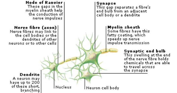 Nerve Cells (@NerveCells4Pres) | Twitter