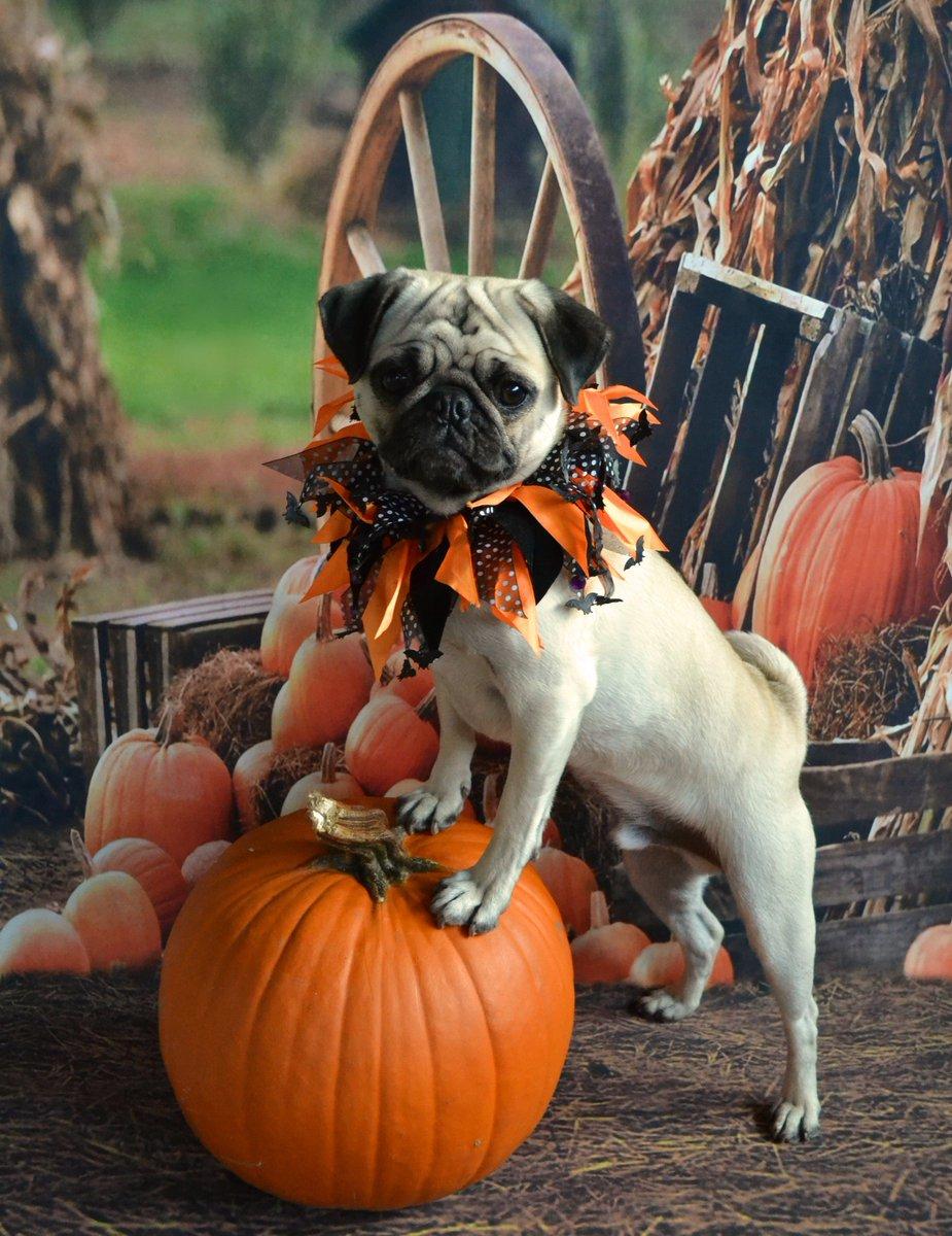 DaPuglet Pugs on Twitter  Boo Lefou a pug posing on a pumpkin for you! # pug #dog #Halloween #Pumpkin #Costume #pets #animals //t.co/HwGYGAW3VZ  & DaPuglet Pugs on Twitter: