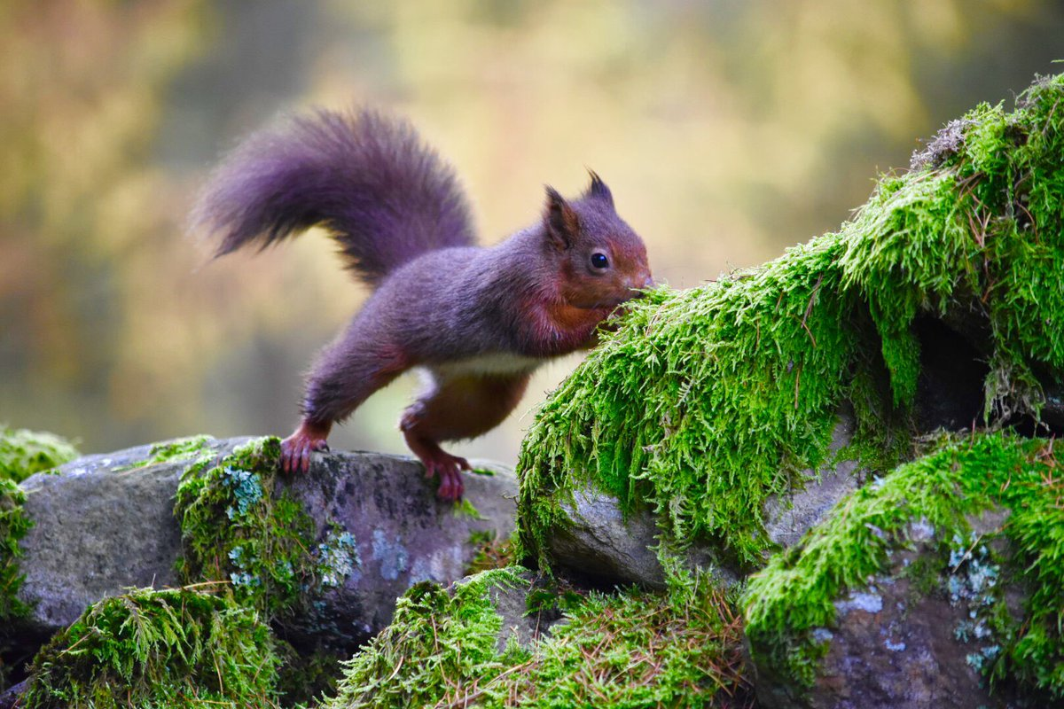 Meaning of white squirrel sighting - Had Fun Yesterday With The Red Squirrels Which Live In Yorkshiredales Never Tire Of Them Yorkshire_dales Countryfilemag Welcome2yorkspic Twitter Com
