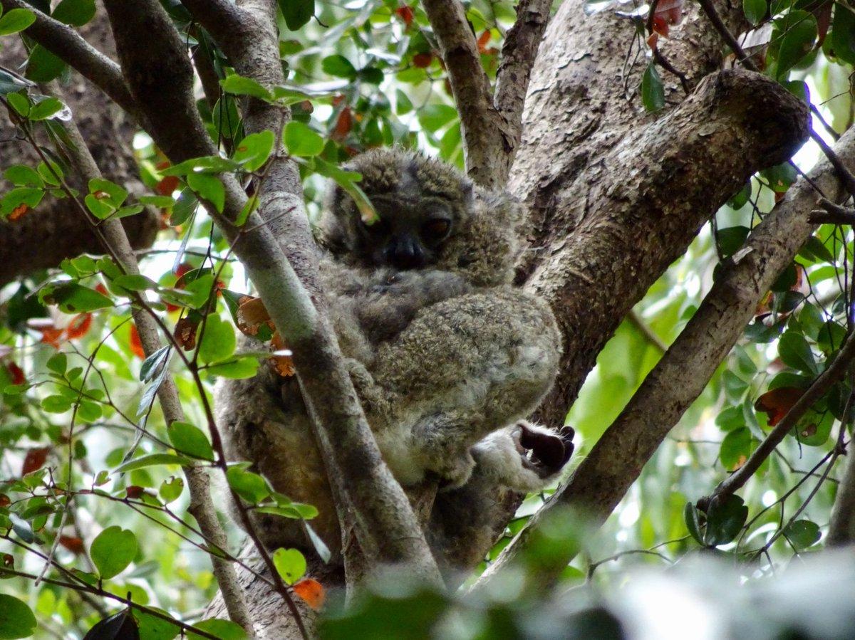 Tuija Sonkkila On Twitter Bemaraha Woolly Lemur Also Known As