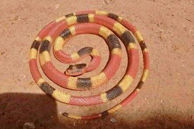 Región | Encontraron una serpiente de coral