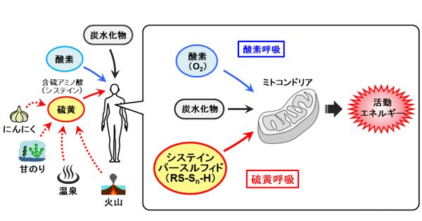 プレスリリース | 世界初:哺乳類における「硫黄呼吸」を発見 – 酸素に依存しないエネルギー代謝のメカニズムを解明 – tohoku.ac.jp/japanese/2017/… #東北大学