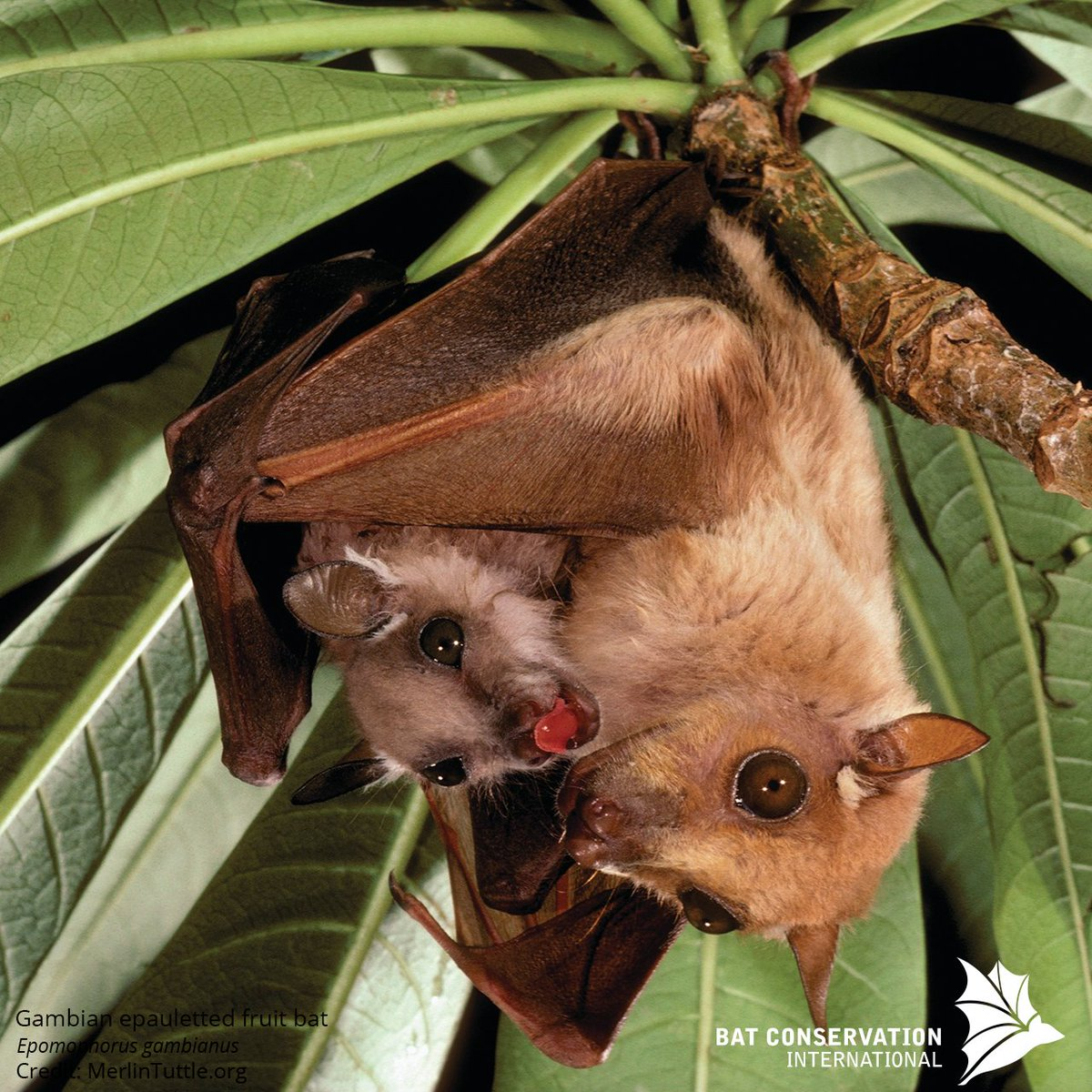 "Bat Conservation Int on Twitter: ""Most bats moms give ..."