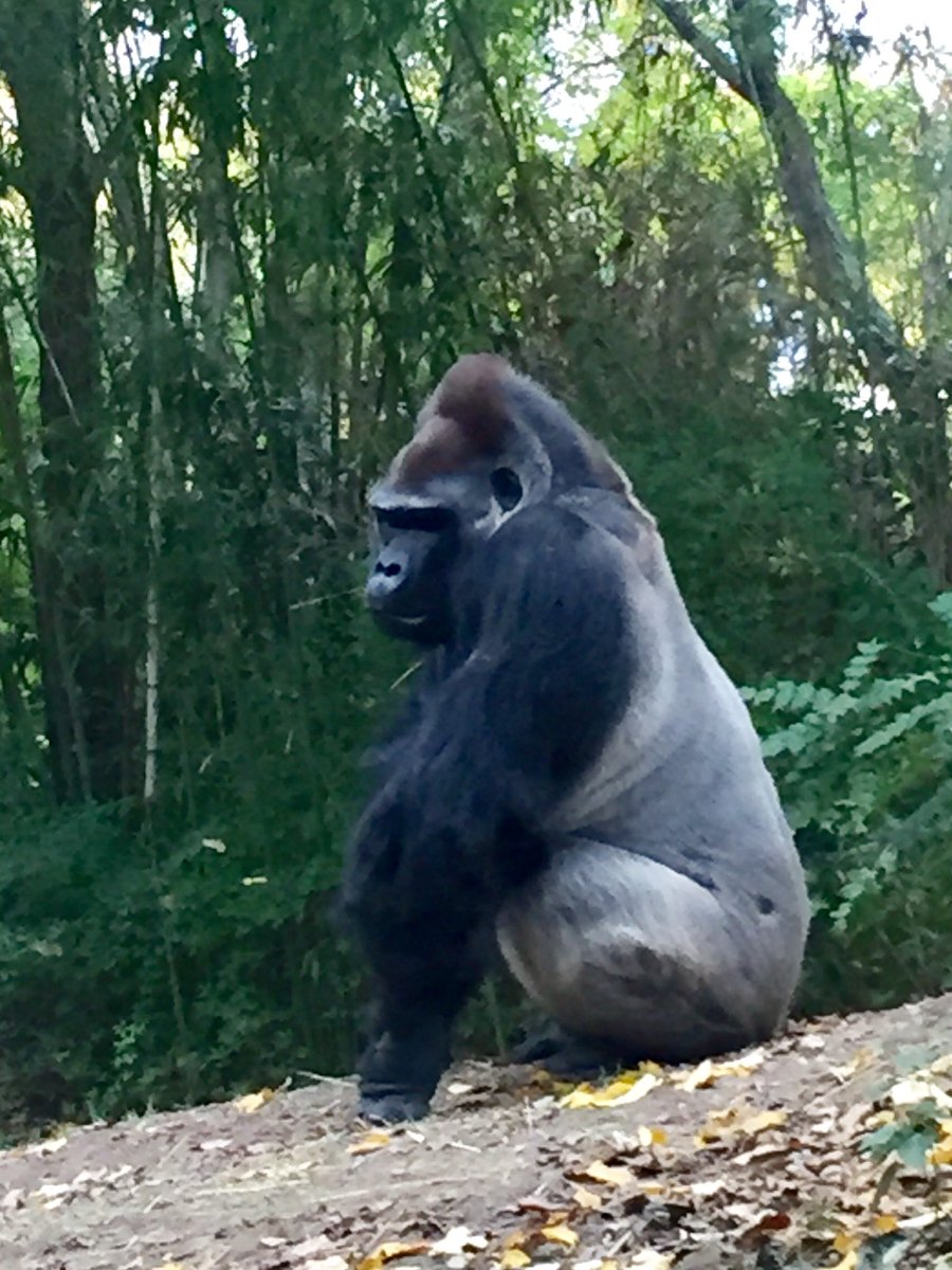 Jim Breheny On Twitter Our Other Bronxzoo Silverback Ernie
