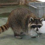 初の摘発…#外来種 アライグマ逃がした女を書類送検 動物好き「駆除、かわいそう」 - 産経ニュース …