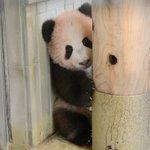 6月12日生まれのジャイアントパンダ「シャンシャン」近況です。昨日10/30、身体検査を行いました。…