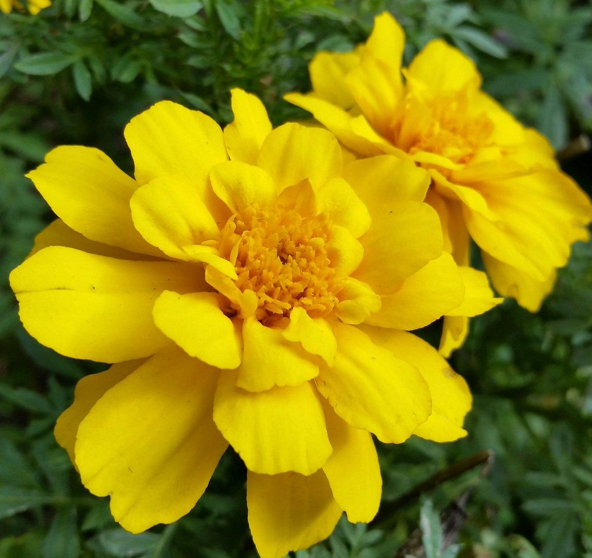 "Picture of Live Marigolds Durango Yellow aka Tagetes patula 'Durango Yellow' Plant Fit 4"" Pot"