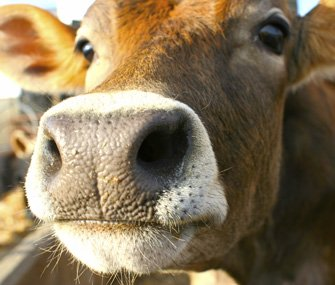Cows have an acute sense of smell and can detect odors up to six miles away, which is also helpful in detecting imminent danger. #CAO17 <br>http://pic.twitter.com/DfOc4r04YG
