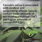 #CANNABIS and #PHYTOCANNABINOIDS – Canntelligence https://t.co/9sq68A2ZeT #cannabissativa #sativa #cbd #thc