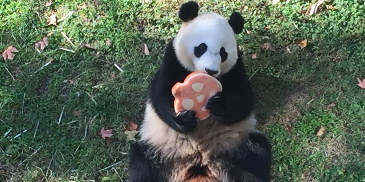national zoo on twitter the pandas got some halloween treats today their pumpkins were made of shredded diluted juice and applesauce