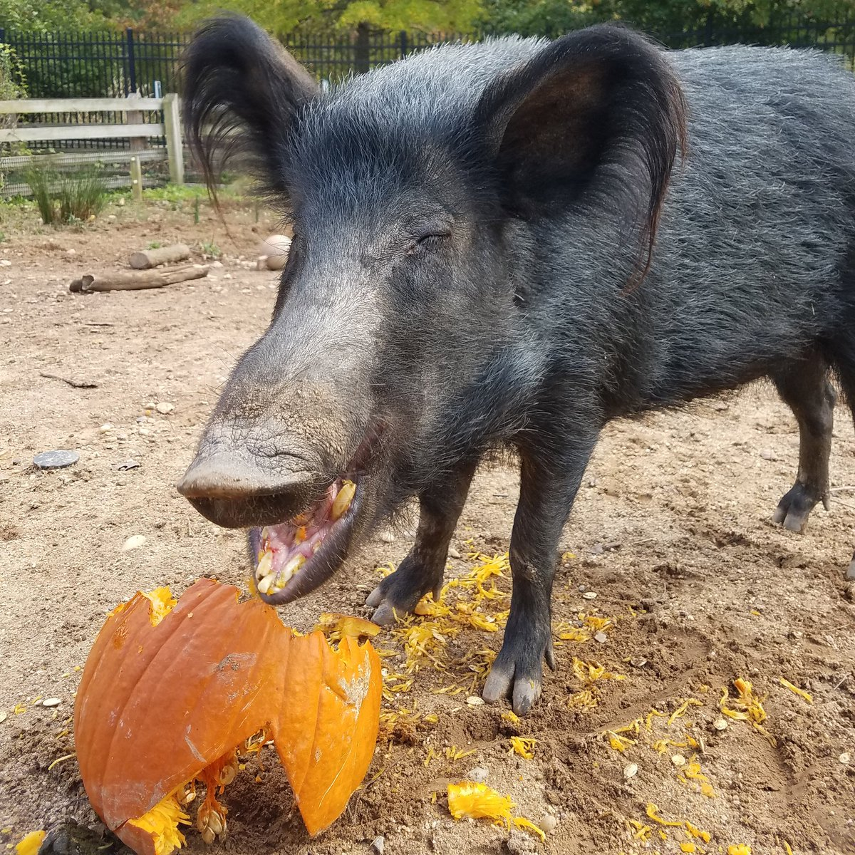 national zoo on twitter we hope you enjoy your halloween candy as much as our ossabaw island hog enjoyed her enrichment