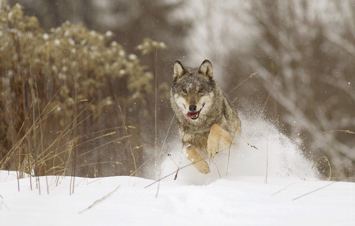 какой волк уходит от погони картинки срок службы