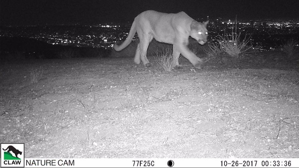 Wildlife camera catches uncollared mountain lion roaming the Hollywood Hills https://t.co/xrxZ6NbSvt https://t.co/kVJpBi1fZz